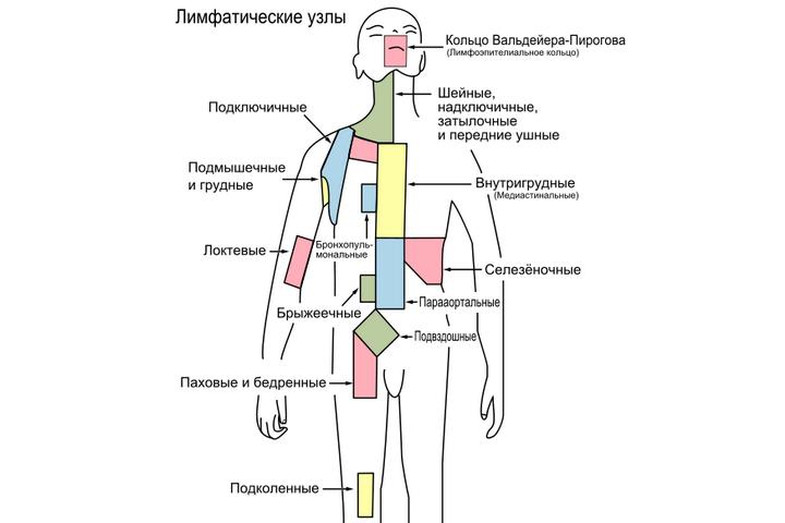 расположение лимфоузлов в теле человека