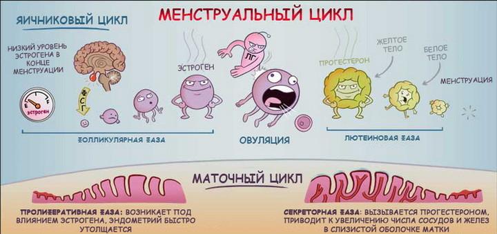 Менструация у телки
