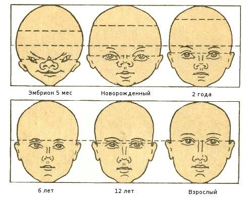 пропорции лица человека в разном возрасте