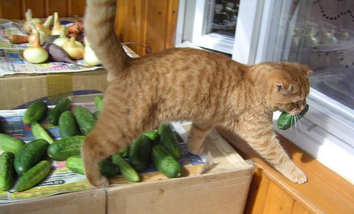 Как коты реагирует на огурец