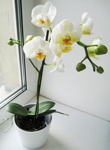 Сколько цветет орхидея фаленопсис в домашних условиях: когда, как часто
