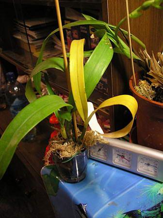 желтеет стебель и бутоны у орхидеи