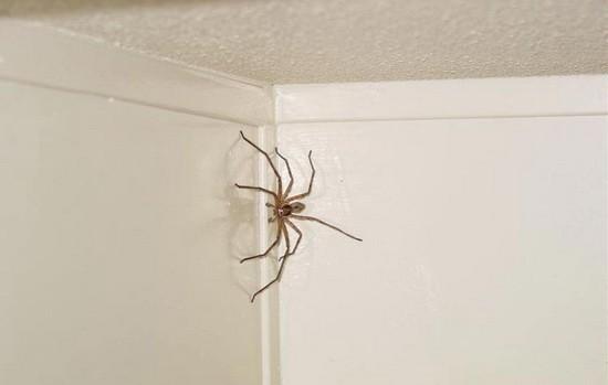 пауки белые фото домашние